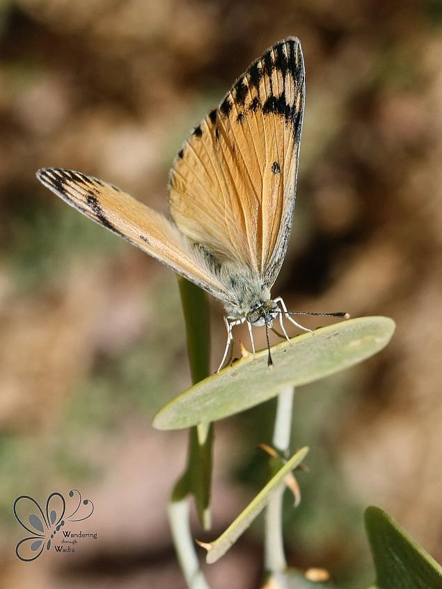 Large Salmon Arab Butterfly_Garden Caper (2)