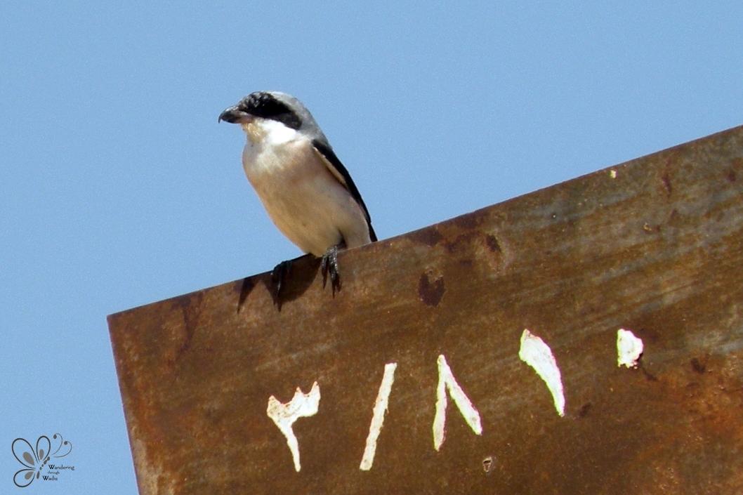 Lesser Grey Shrike_Lanius minor (1)