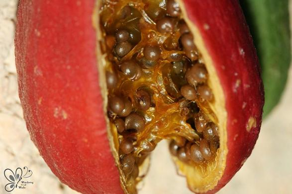 Ripe Caper Fruit (1)