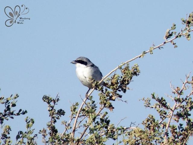 Southern Grey Shrike_Lanius meridionalis (1)