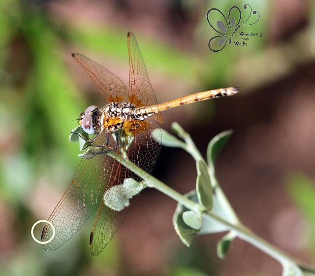 Dragonfly - Garden (1)