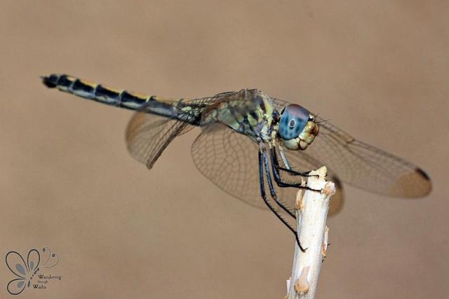 Dragonfly on Aloe (3)