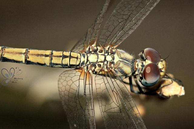 Dragonfly on Aloe (6)