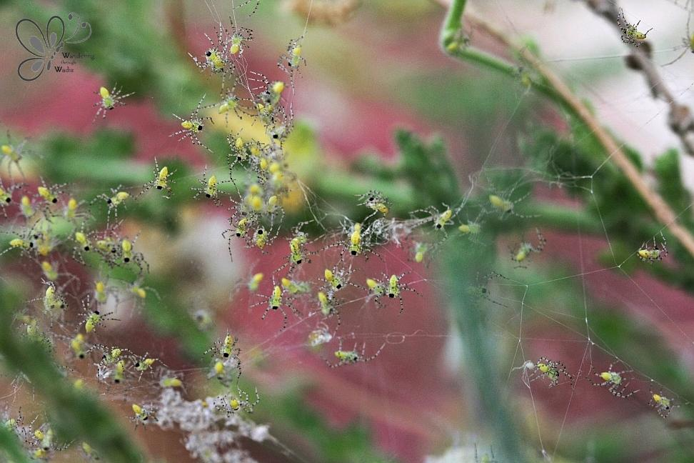 Green Lynx Spiderlings_garden (1)