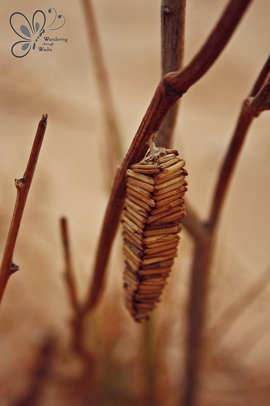 Wadi Arada_Bagworm Moth Case (1)