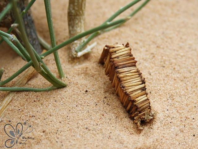 Wadi Arada_Bagworm Moth Case (2)