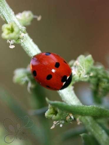 Desert Garden Ladybugs (1)