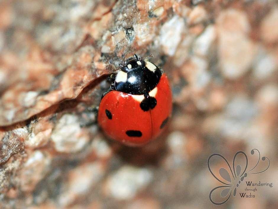 Desert Garden Ladybugs (2)