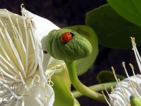 Ladybird Beetles (4)