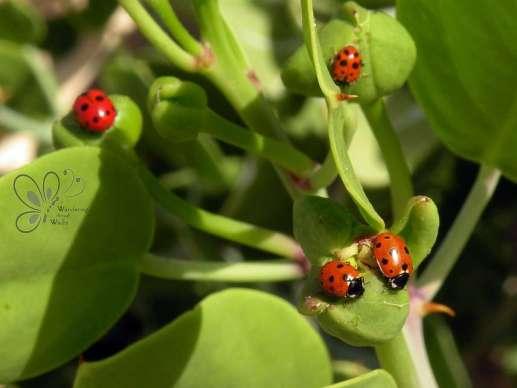 Ladybird Beetles (5)