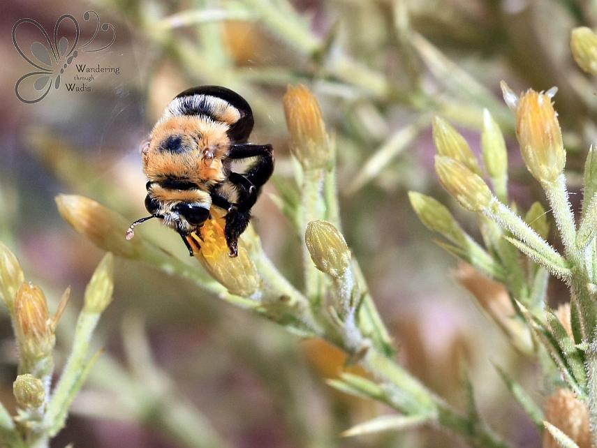 Bee_Wadi Kostya (1)
