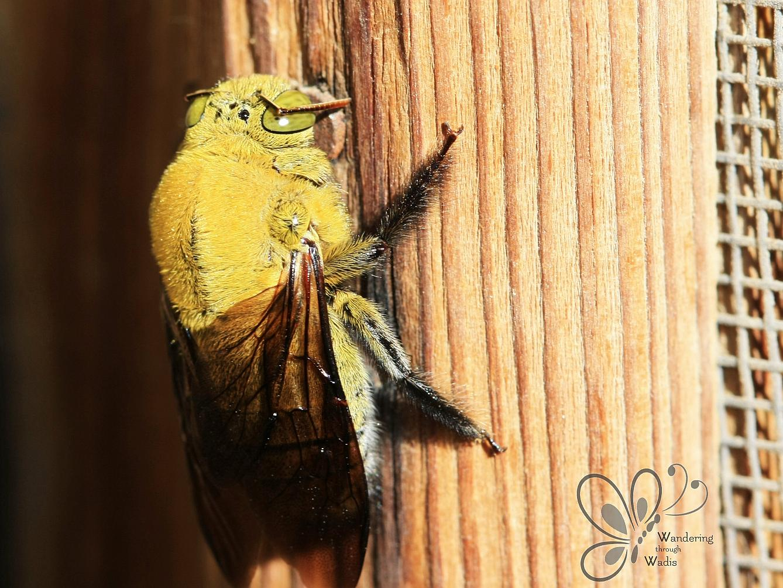 Carpenter Bee (4)