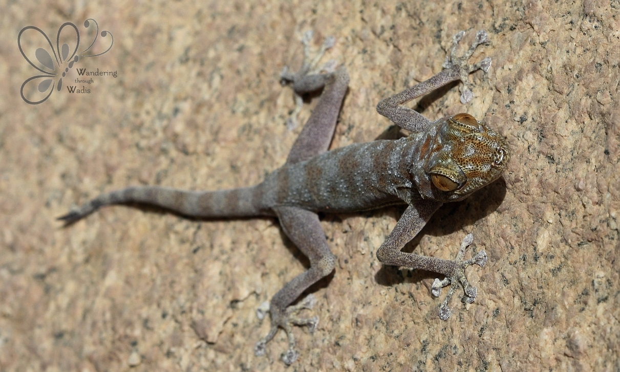 Egyptian Fan-Toed Gecko_Wadi G'Mai (2)