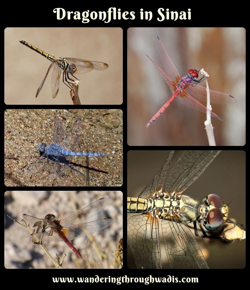 Dragonflies in Sinai