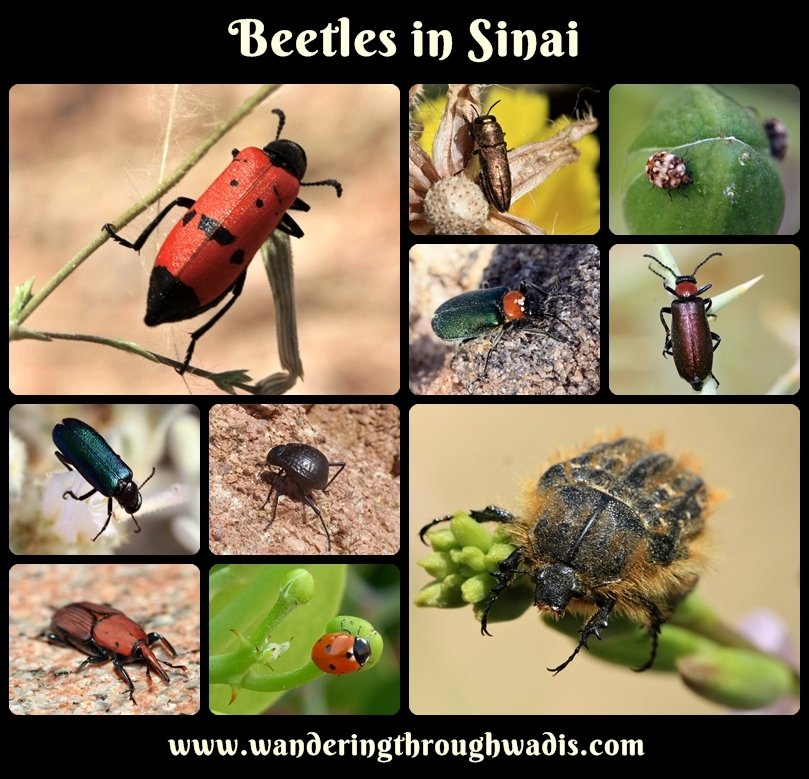 Beetles in Sinai