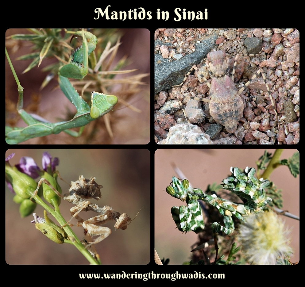 Mantids in Sinai