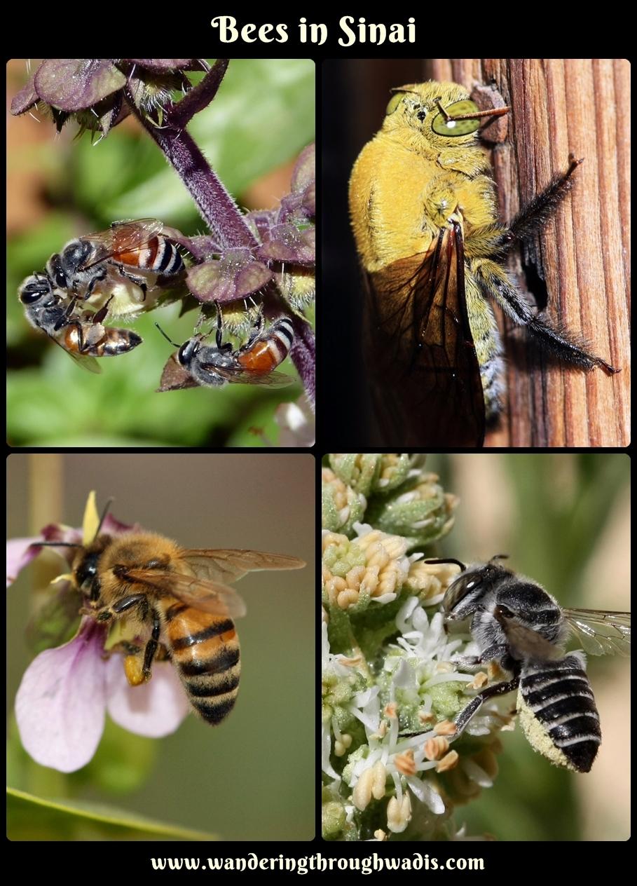 Bees in Sinai