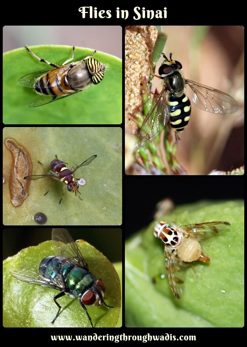 Flies in Sinai