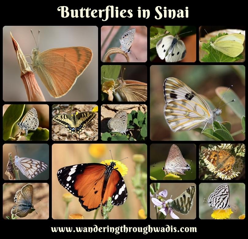 Butterflies in Sinai