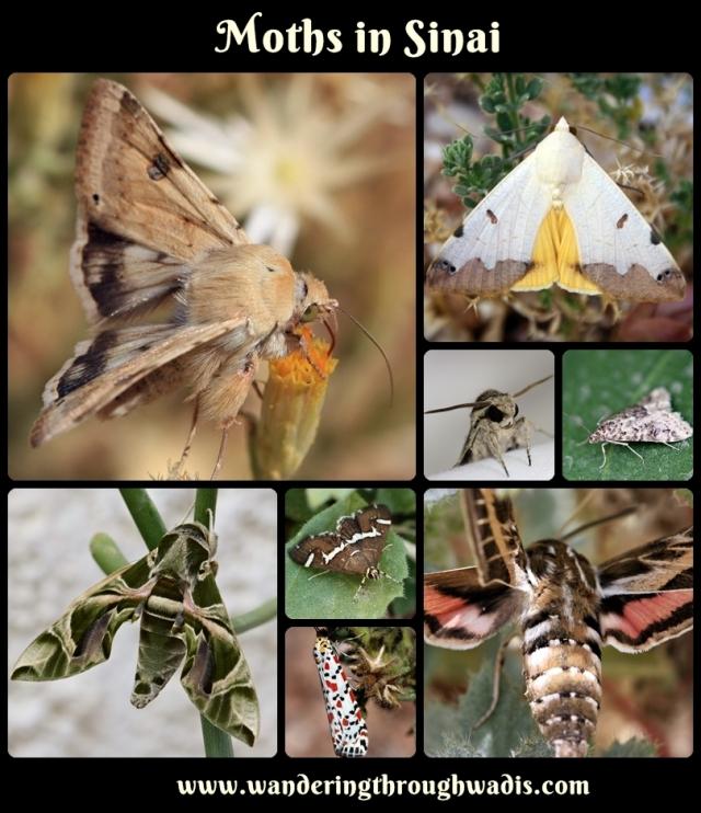 Moths in Sinai.jpg