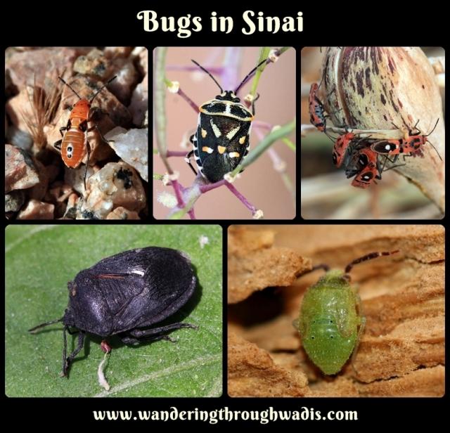 Bugs in Sinai