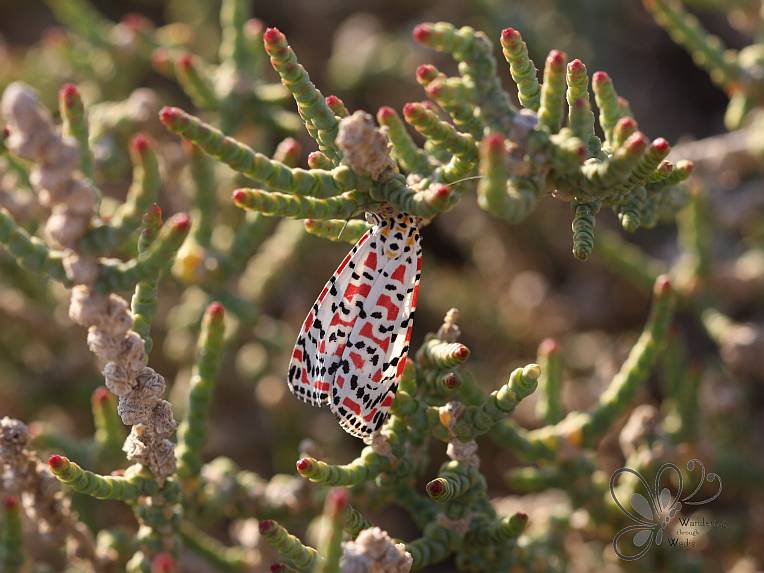Crimson-speckled Flunkey