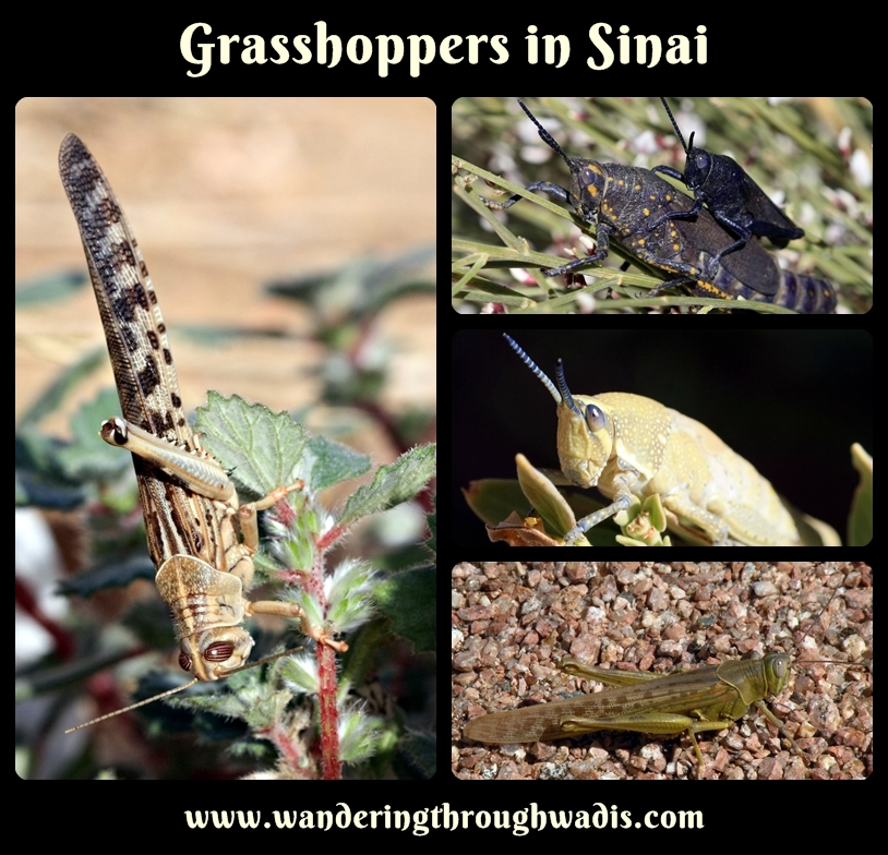 Four pictures of grasshoppers in Sinai.