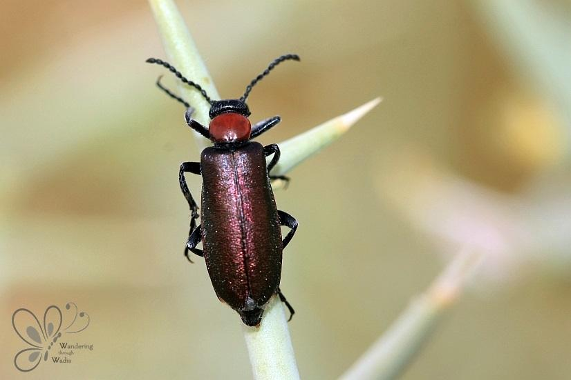 Blister Beetles – Wandering through Wadis